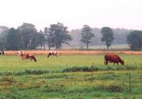 Krowy na łące, w tle drzewa